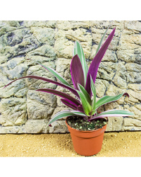 Picture of ProRep Live Plant Rhoeo discolor