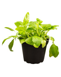 Picture of ProRep Live Food Plant Self Heal