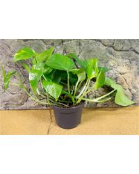 Picture of ProRep Live Plant Epipremnum aureum