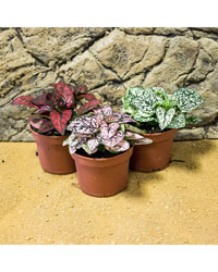 Picture of ProRep Live Plant Hypoestes mixed