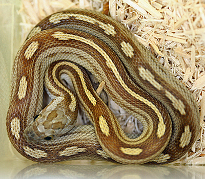 Caramel Motley Corn Snake Caramel Motley Stripe Corn