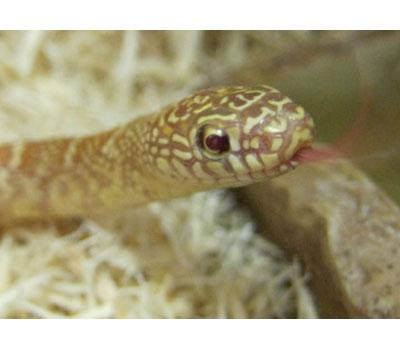 Amelanistic Brooks King Snake - Snakes - Livestock - Bl