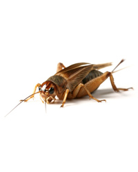 Picture of Silent Brown Crickets Medium - Size 4 - Approx 1000