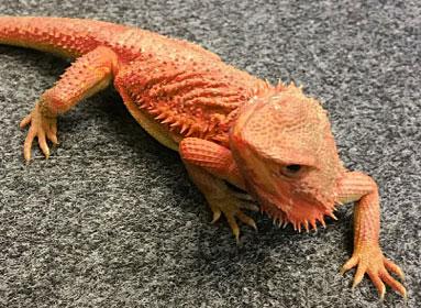 Blog - Blue Lizard Reptiles - Reptile Shop